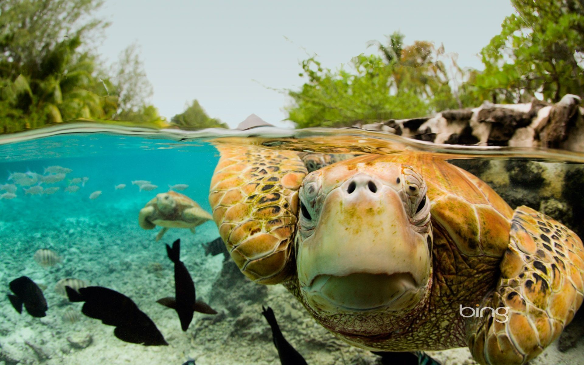 Sea Turtles Wallpaper Sea Turtle Wallpaper Backgrounds 55 Images