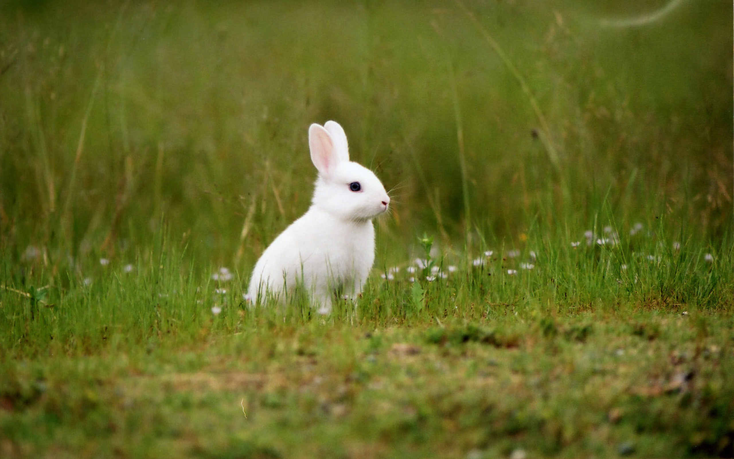 Cute White Rabbit Wallpapers For Desktop Bunny Wallpapers 59 Images