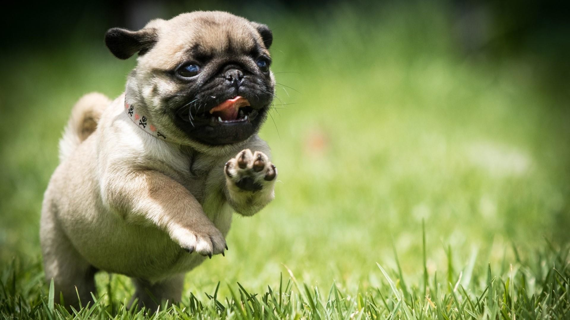 Cute Puppies Full Hd Wallpapers Pug Puppy Wallpaper 66 Images