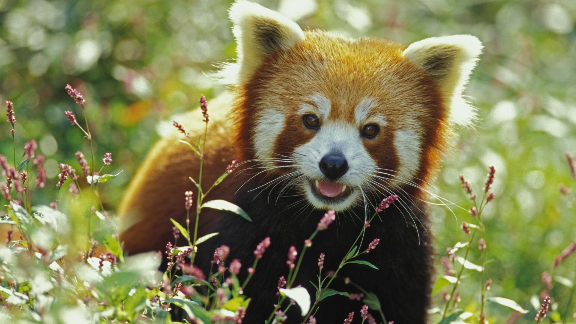 Ferret Wallpaper Iphone Cute Baby Panda Wallpaper 65 Images