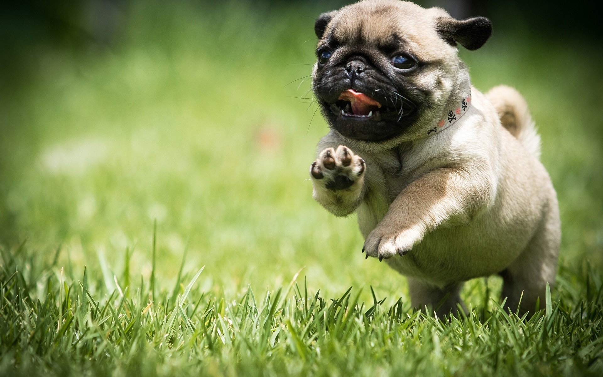 Cute Puppy Wallpapers For Iphone Pug Puppy Wallpaper 66 Images