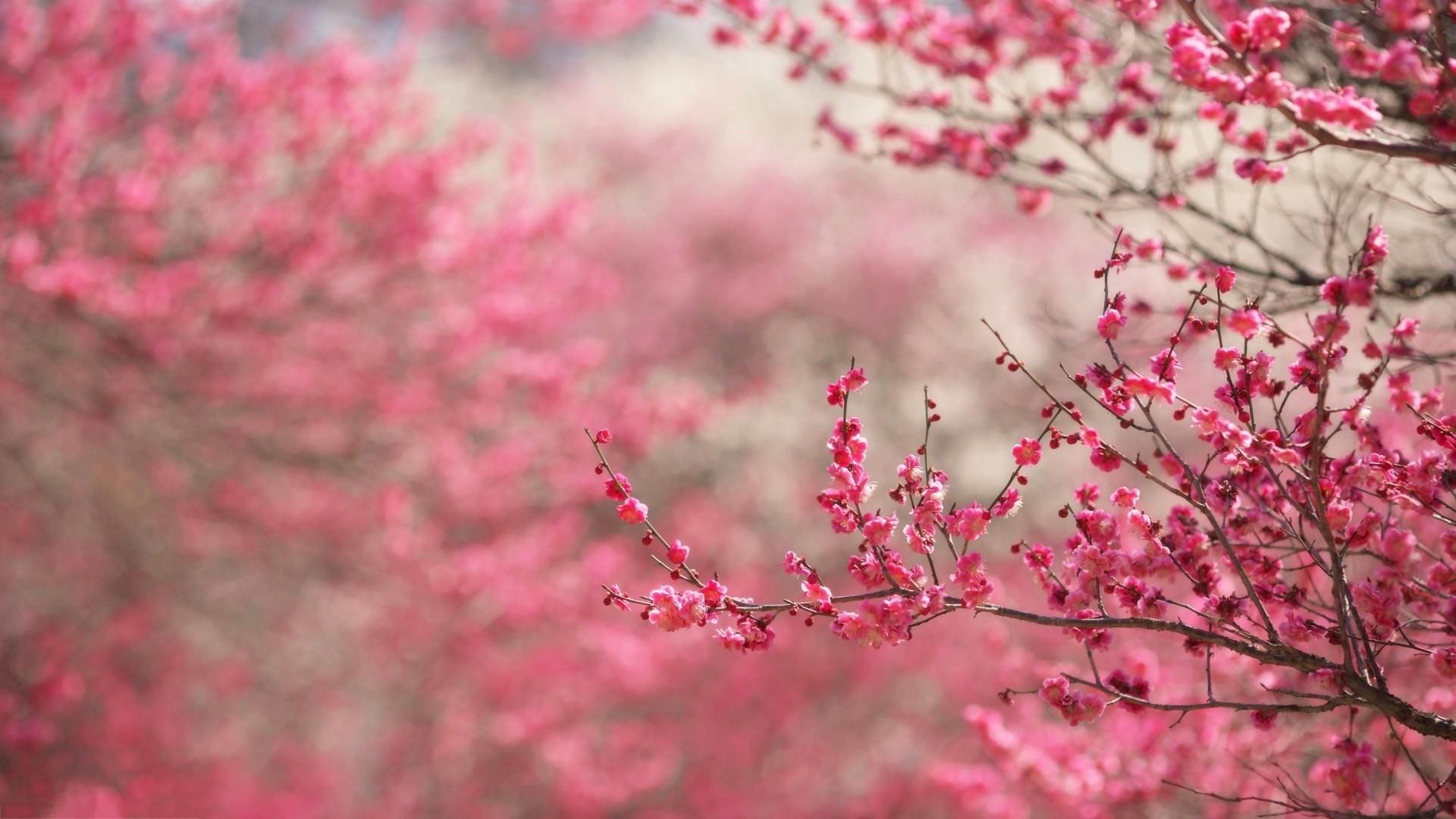 Mount Fuji Wallpaper Iphone Cherry Blossom Hd Wallpaper 71 Images
