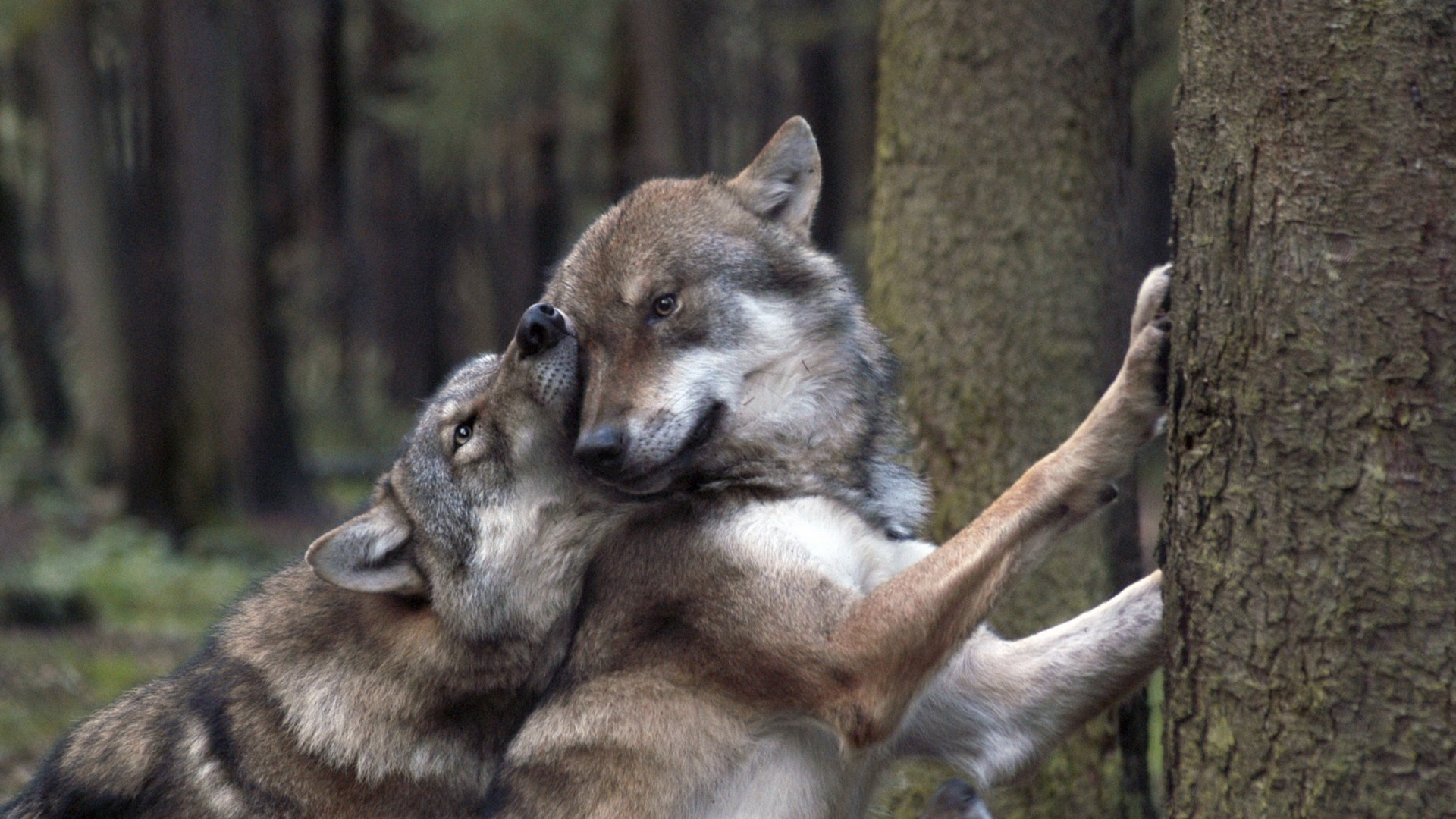 Cute Couple Romance Wallpaper Wolves In Love Wallpapers 53 Images