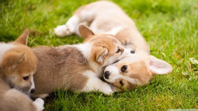 Corgi Puppies Wallpaper (54+ images)