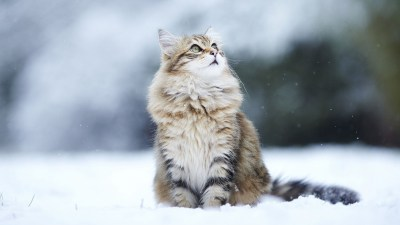 HD Cat Wallpapers 1920x1080 (69+ images)