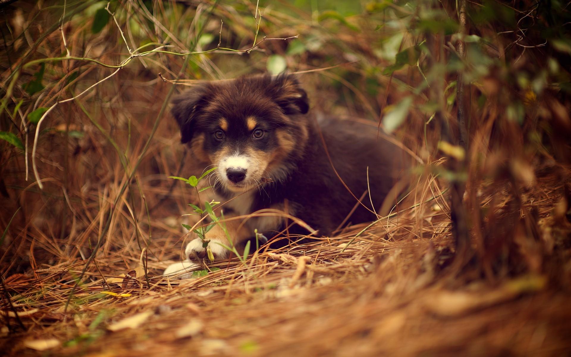 Cute Puppies Full Hd Wallpapers Australian Shepherd Wallpaper 67 Images