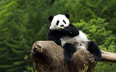 Panda HD Wallpaper (79+ images)