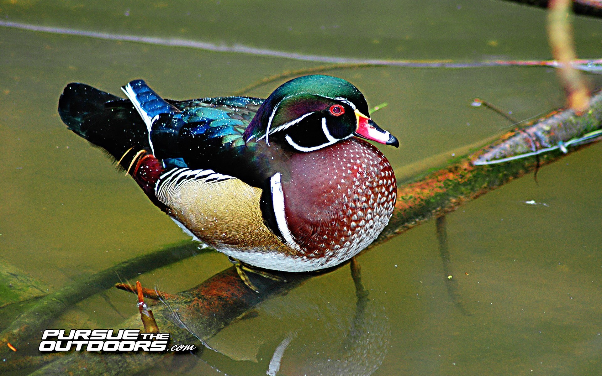 Oregon Ducks 3d Wallpaper Ducks Unlimited Desktop Wallpaper 51 Images