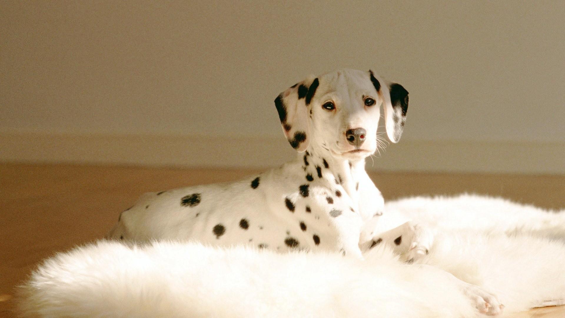 Cute Puppies Full Hd Wallpapers Dalmatian Wallpaper 55 Images