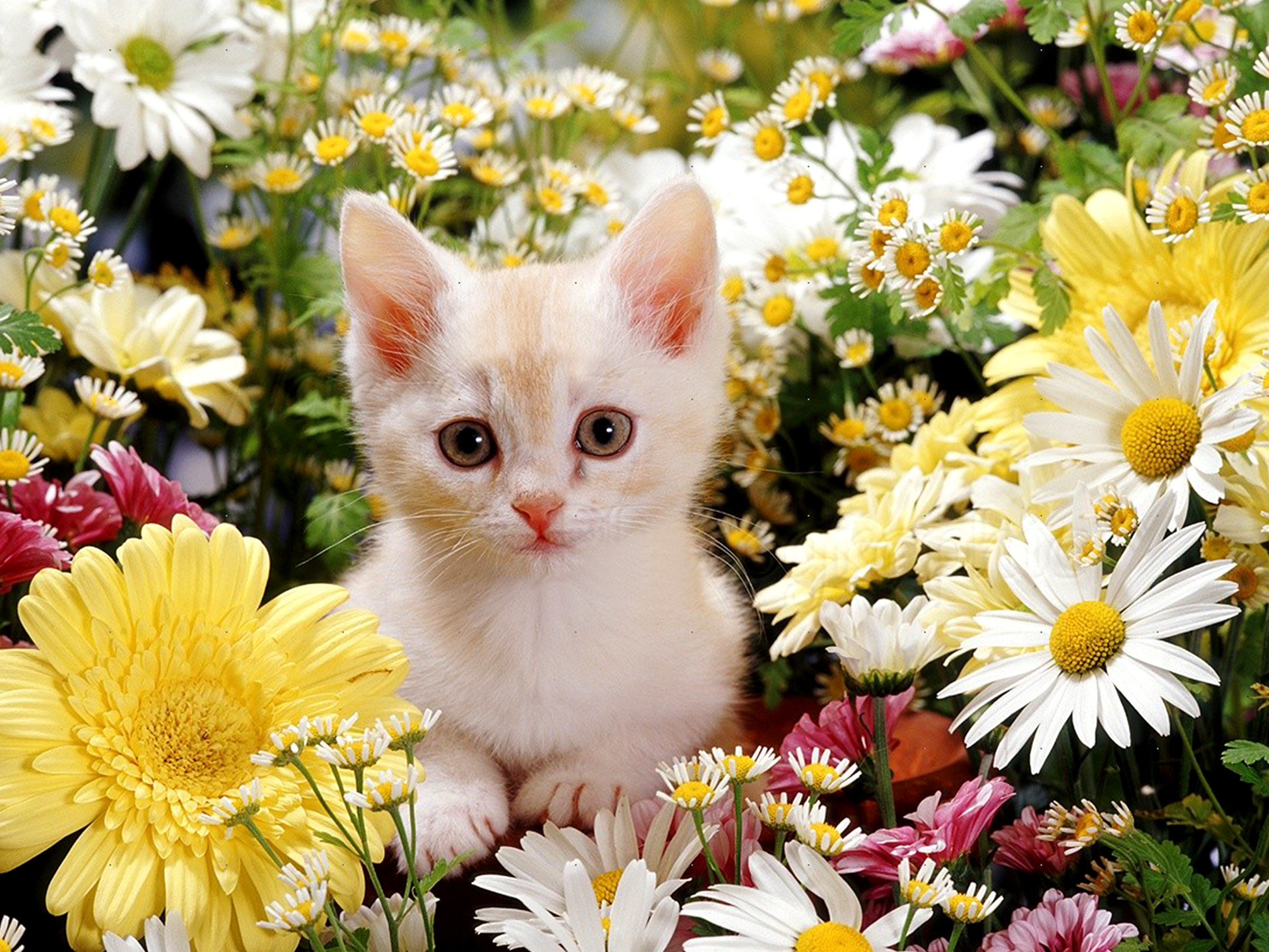 Cute Puppies Full Hd Wallpapers Cute Kitten Desktop Wallpaper 60 Images