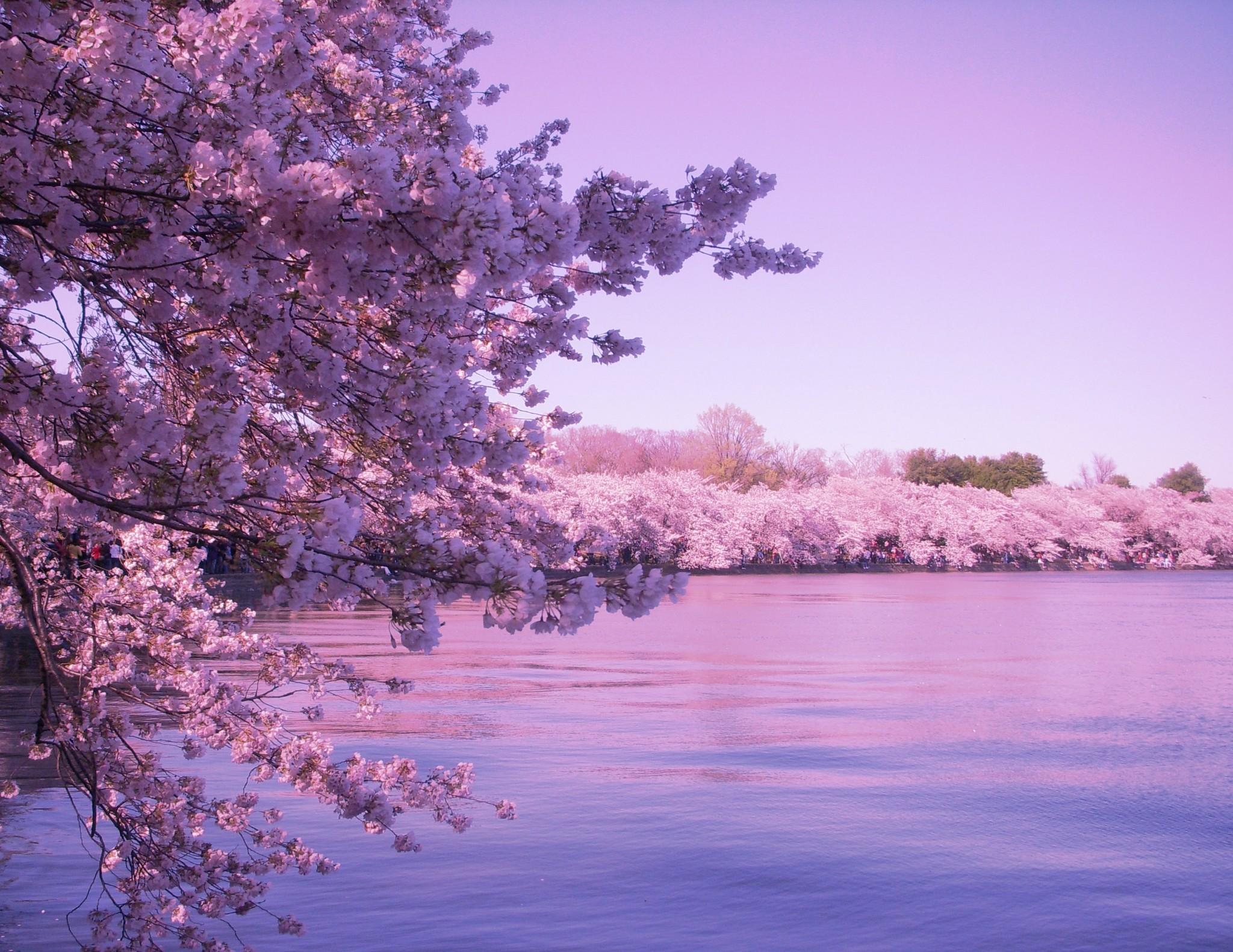 sakura blossom background