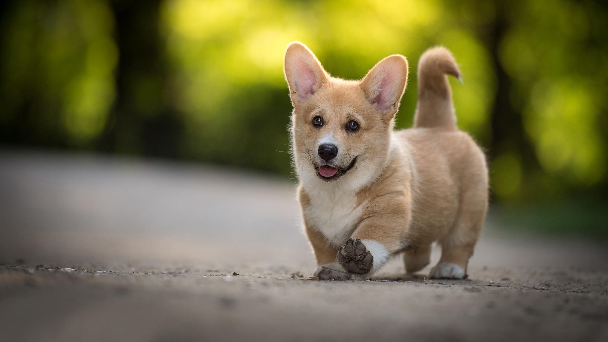 Cute Dogs Full Hd Wallpapers Corgi Puppies Wallpaper 54 Images