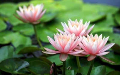 Lotus Flower Background (54+ images)