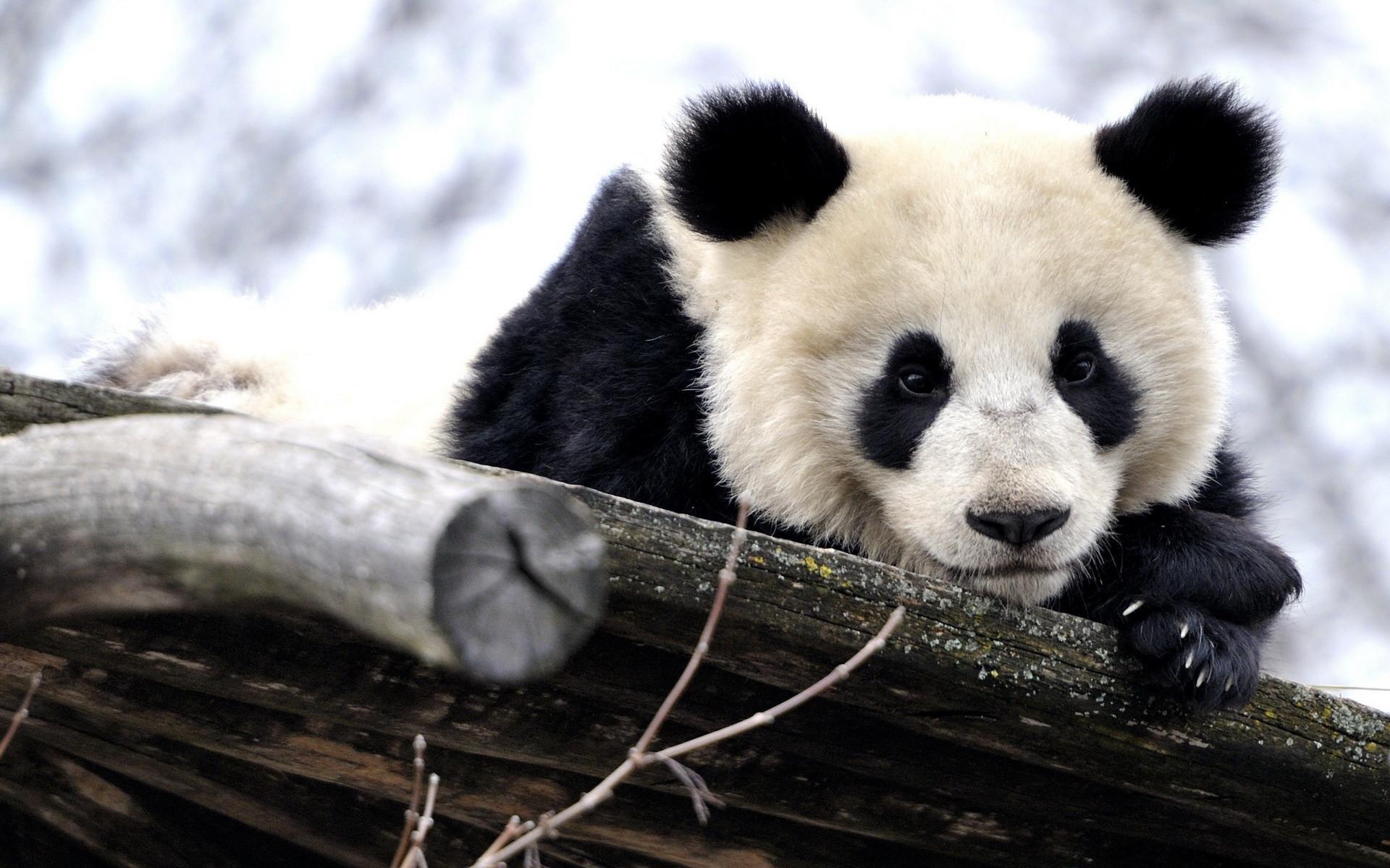 Kung Fu Panda Cute Wallpaper Chinese Panda Emulates Animated