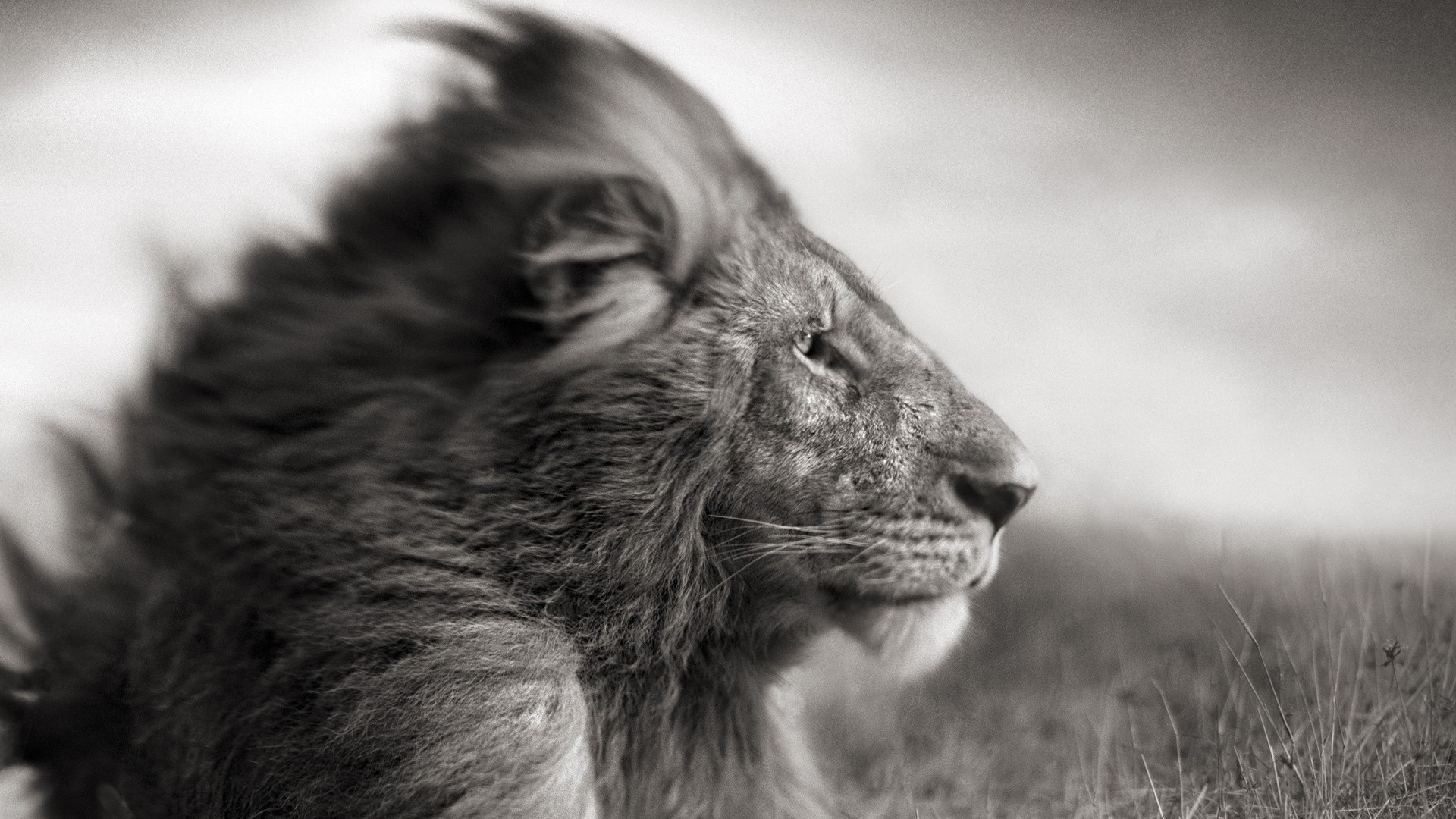 Angry Lion Wallpaper Hd 1080p Black And White Lion Wallpaper 51 Images