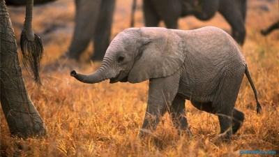 Elephant Desktop Wallpaper (77+ images)