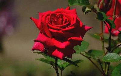 Beautiful Rose Wallpapers HD (62+ images)