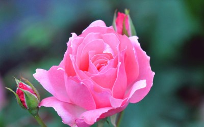 Rose Flowers Wallpaper (57+ images)