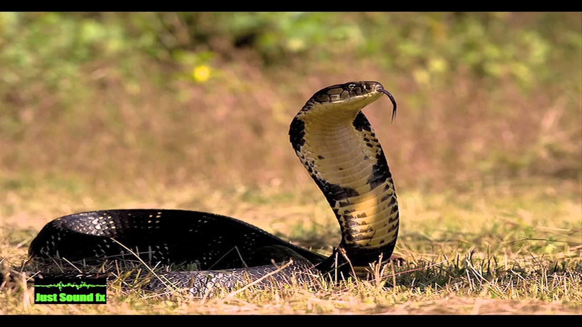 Beautiful Girl Face Hd Desktop Wallpaper Indian King Cobra Snake Wallpaper 50 Images