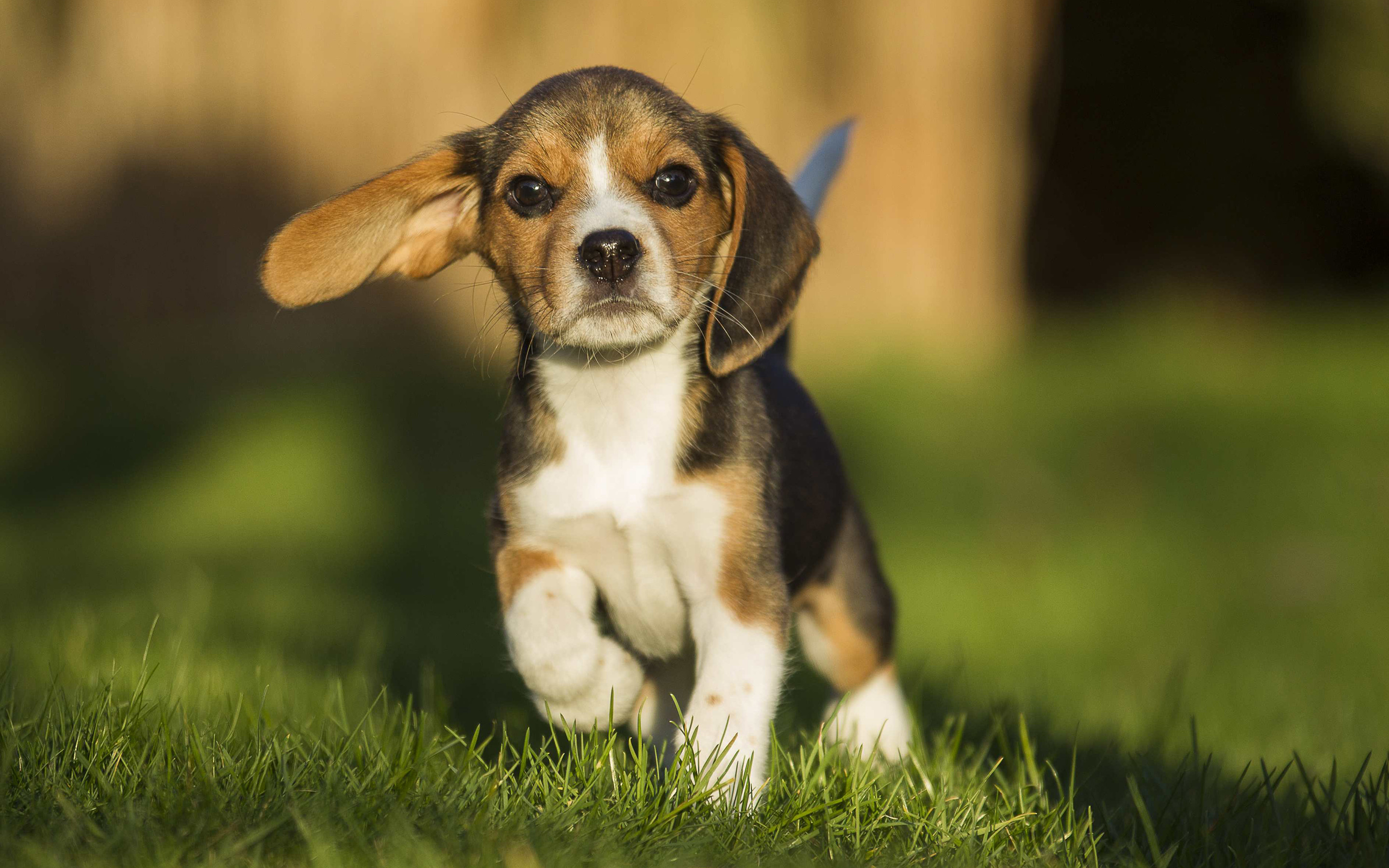 Cute Little Girl Hd Wallpapers 1080p Beagle Wallpaper 69 Images