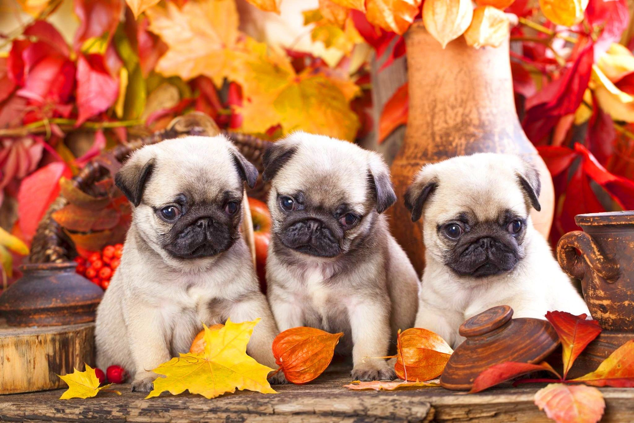 Cute Puppies Wallpapers For Mobile Pug Puppies Wallpaper 61 Images