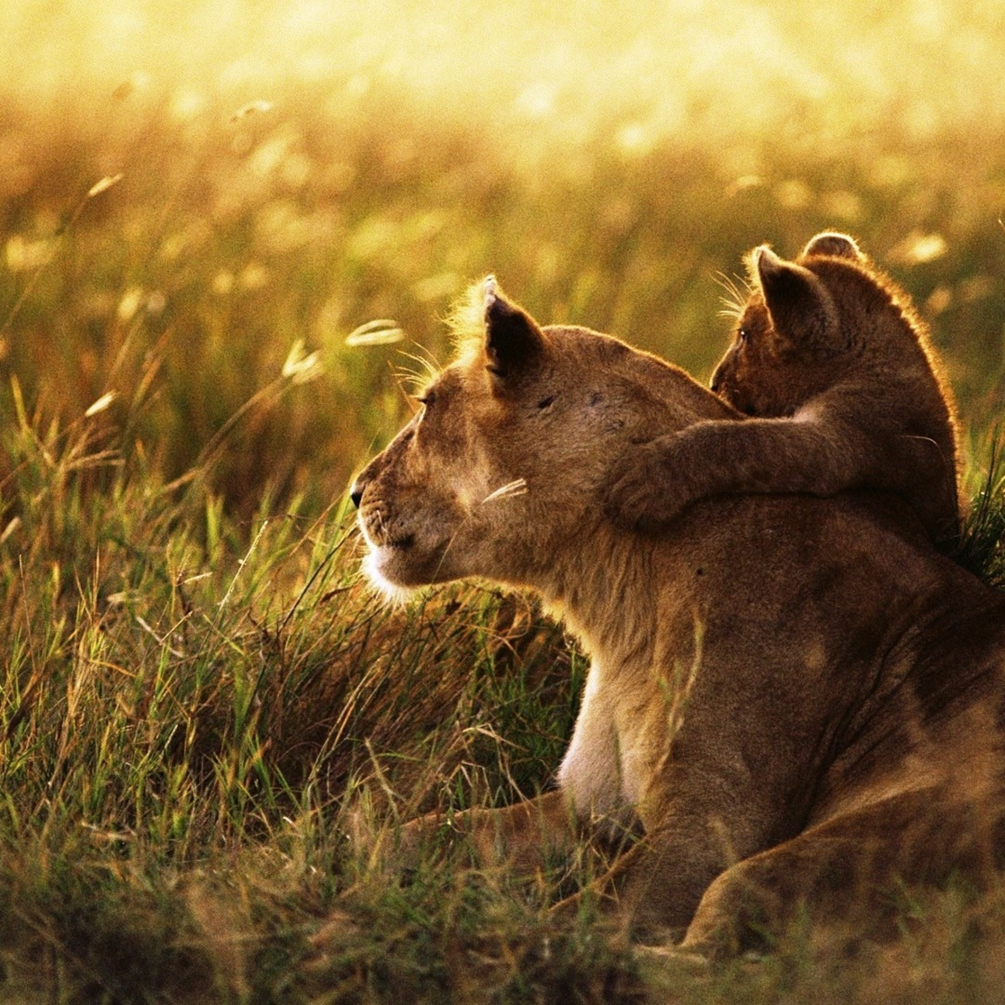 Cute Lion Cubs Hd Wallpapers Lion And Lamb Wallpaper 54 Images