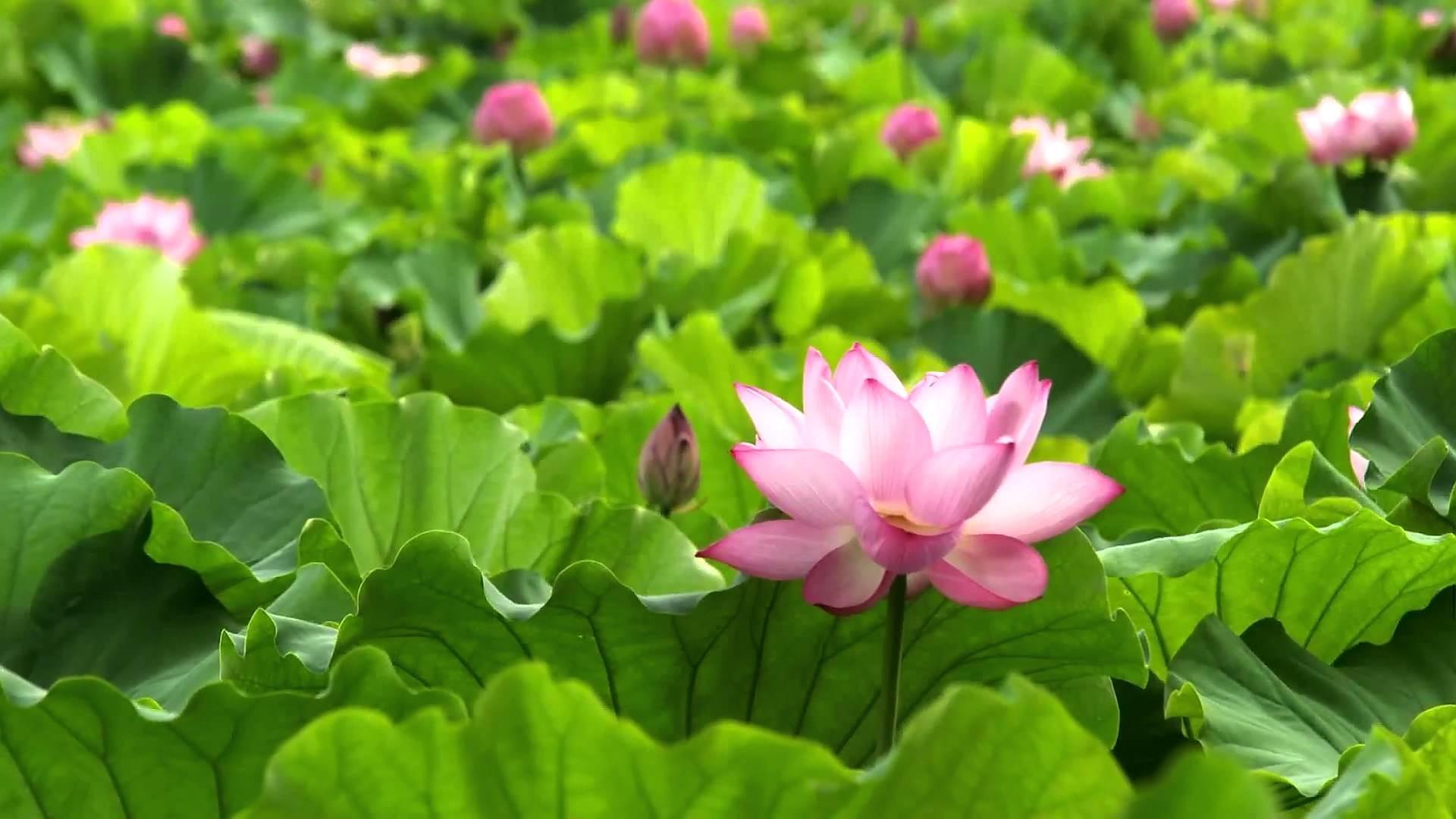 Buddha Hd Wallpaper 1080p Lotus Flower Background 54 Images