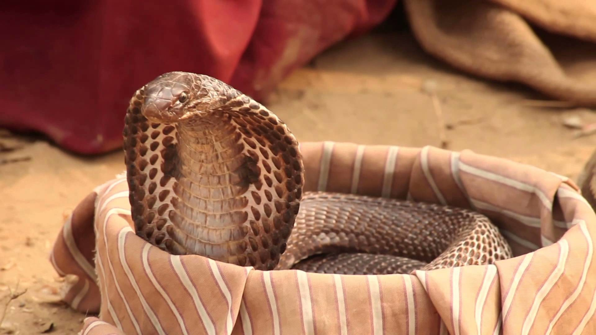 Snake Eyes Hd Wallpapers Indian King Cobra Snake Wallpaper 50 Images