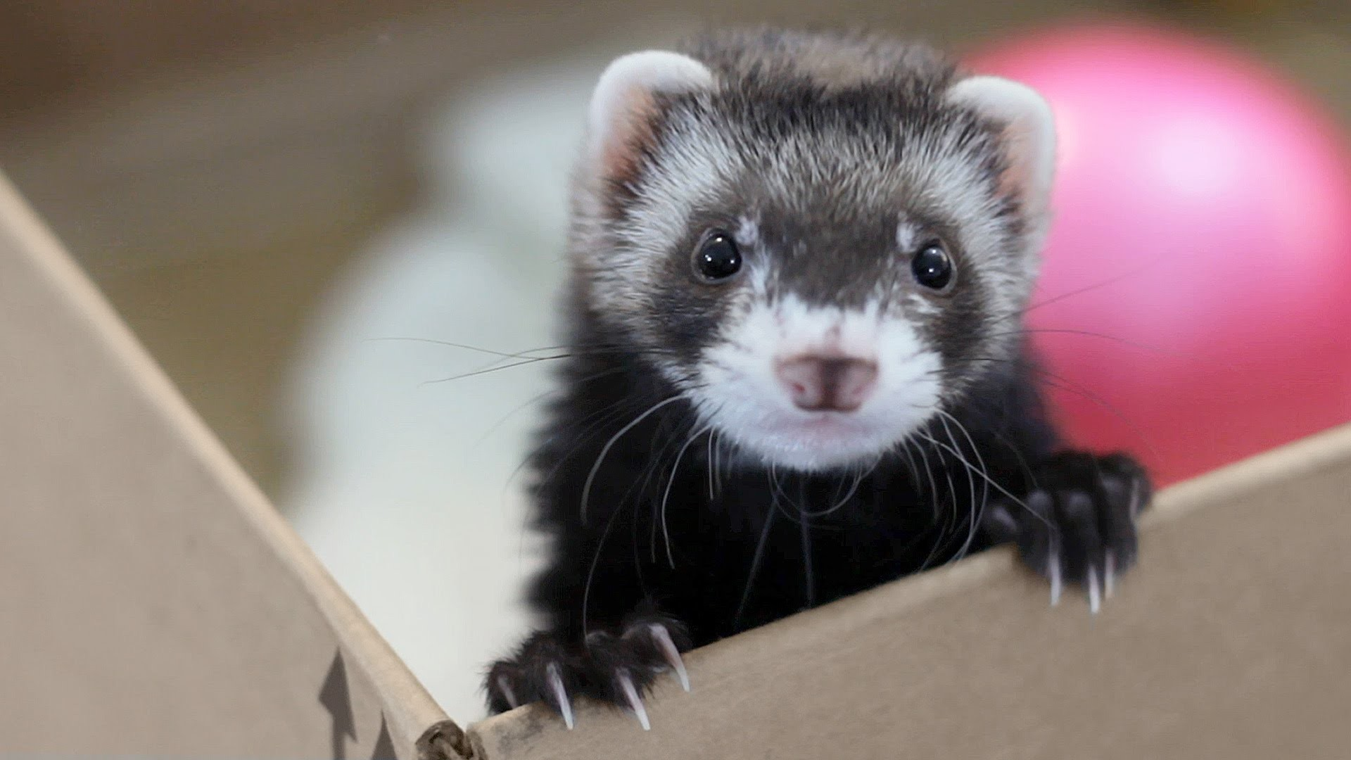 Cute Pet Animals Wallpapers Cute Ferret Wallpaper 72 Images