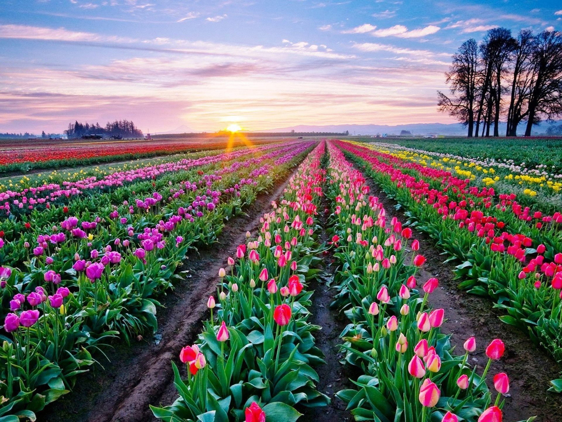 3d Flower Wallpapers Free Download Tulips Background Wallpaper 70 Images