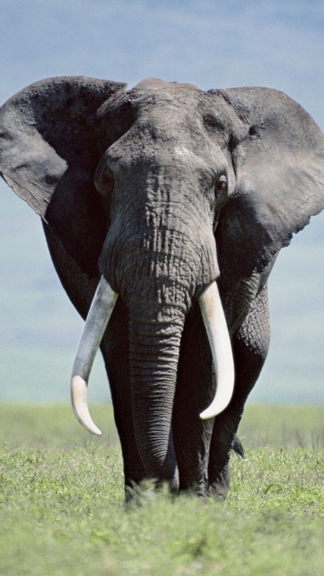 Supreme Girl Wallpaper Iphone African Elephant Wallpaper 68 Images