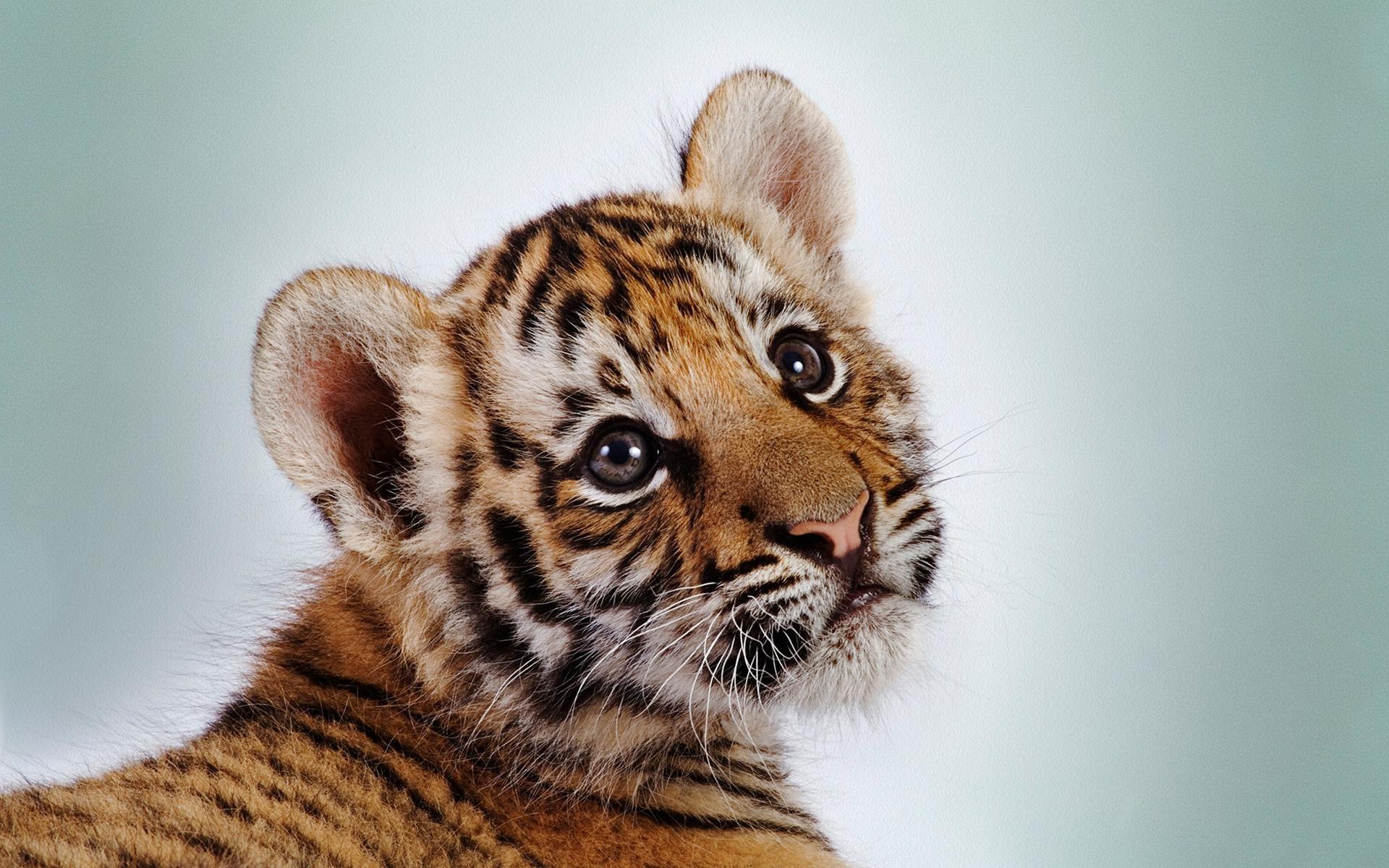 3d Tiger Wallpaper Hd 1080p Fitrini S Wallpaper