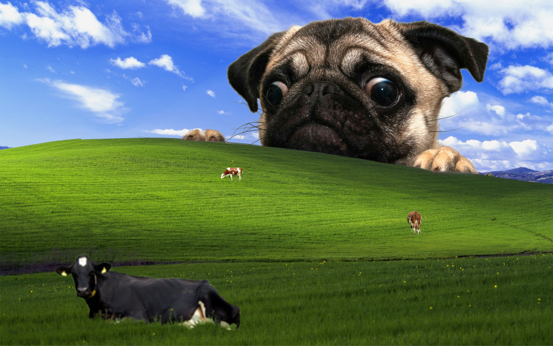 Cute Cartoon Hd Wallpapers Free Download Funny Pug Pictures Wallpaper 75 Images