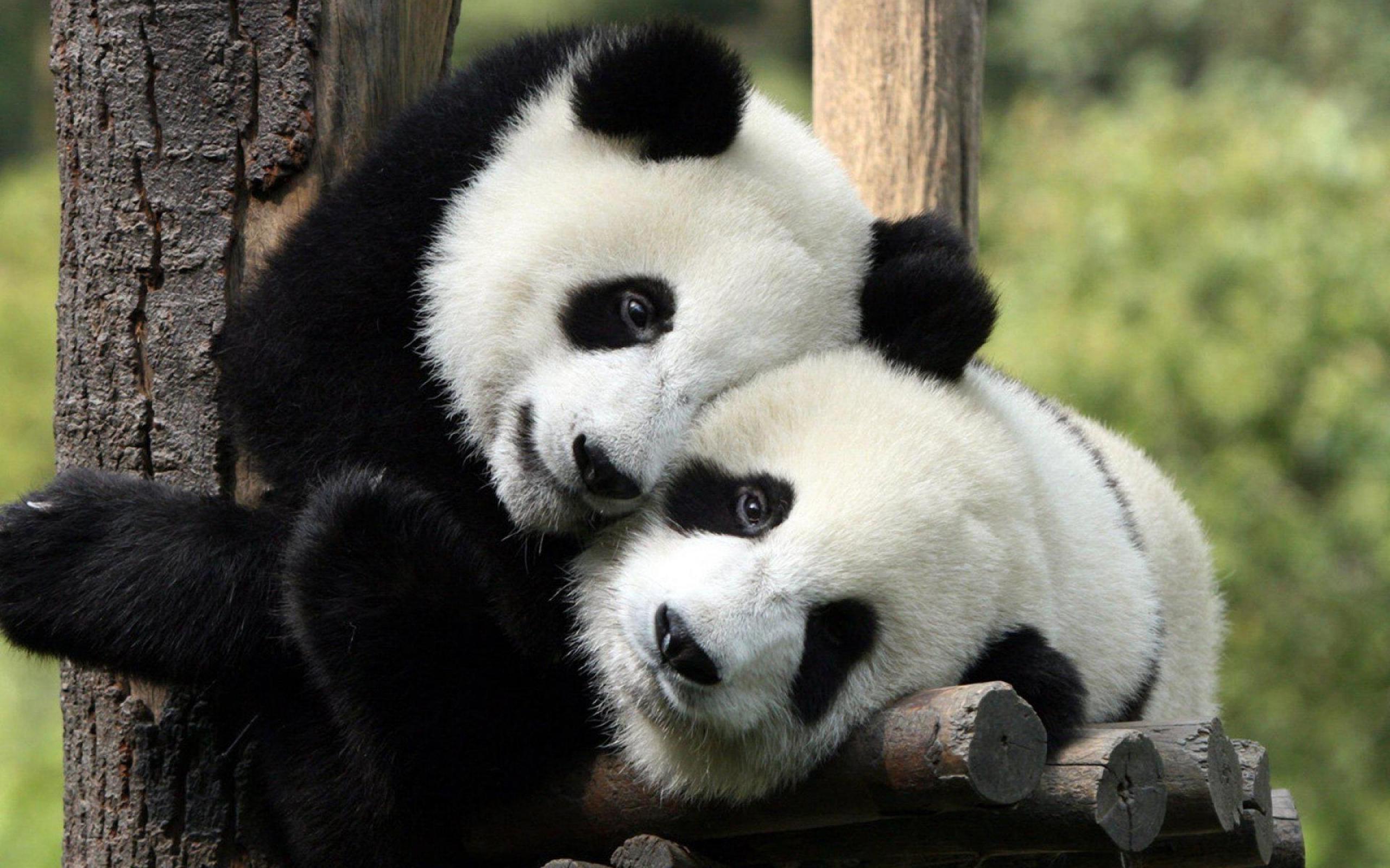 Cute Baby Girl Wallpaper Full Hd Panda Bear Background 44 Images
