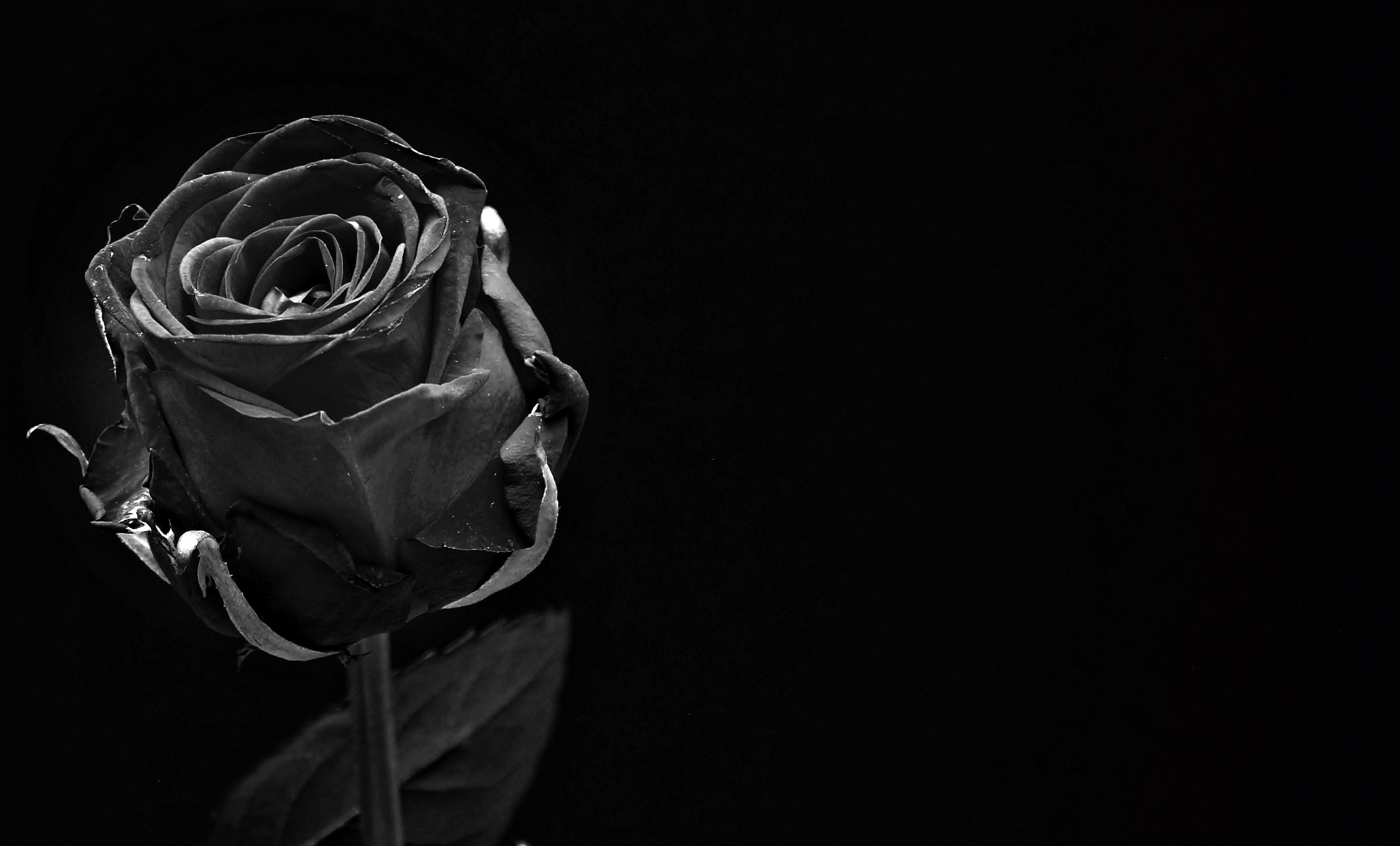 Falling Rose Petals Wallpaper Roses With Black Background 50 Images