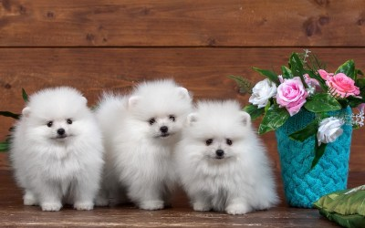 Cute Puppies Wallpaper HD (55+ images)