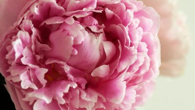 Pink Peonies Wallpaper (46+ images)