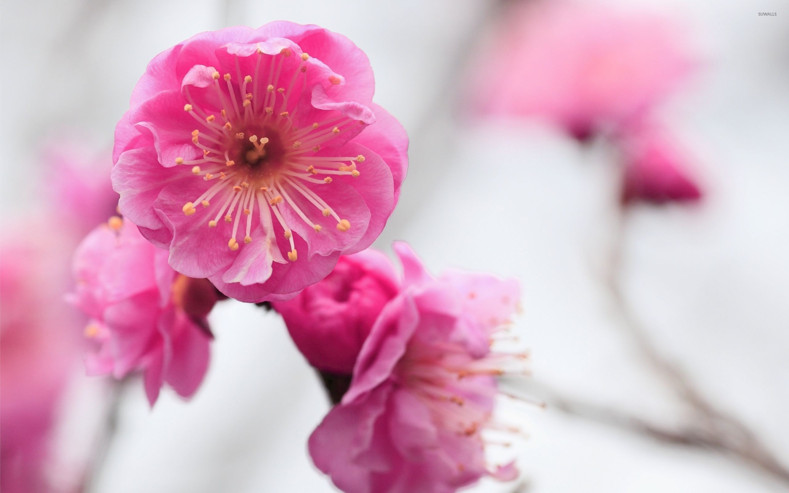 Htc One M8 Wallpaper Hd Pink Cherry Blossom Wallpaper 62 Images