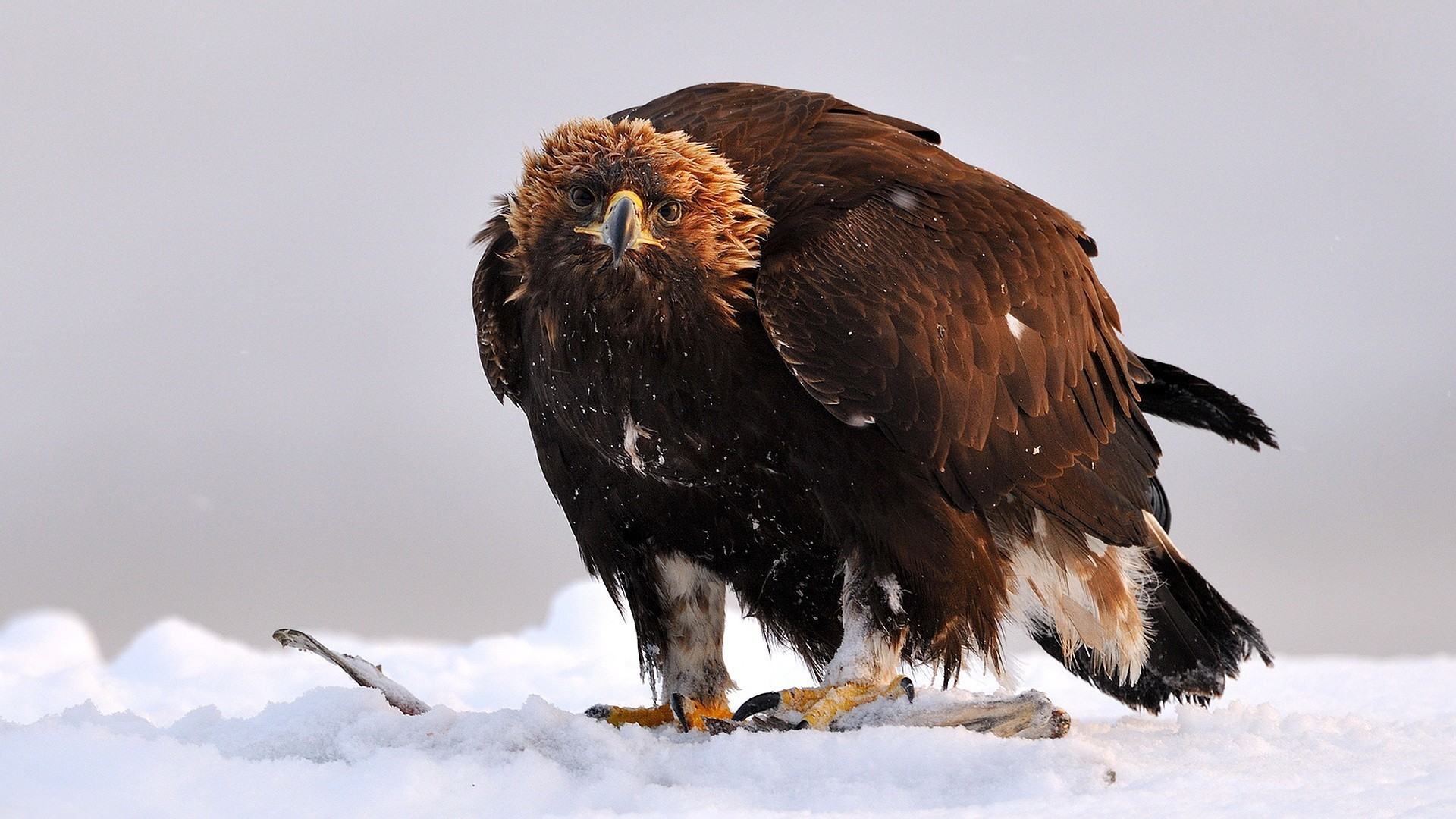 Earth Live Wallpaper Iphone Golden Eagle Wallpaper 61 Images
