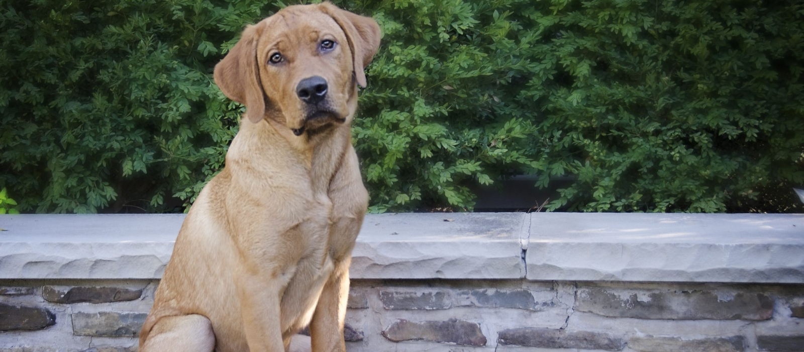 Yellow Lab Dogs For Sale Fox Red Labrador Retriever Puppies For Sale Greenfield Puppies