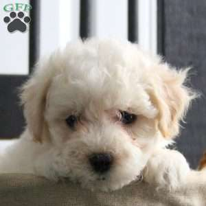Image For Bichon Frise Puppies For Sale Greenfield Puppies