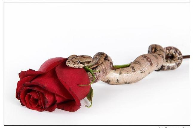 zmeia i roza