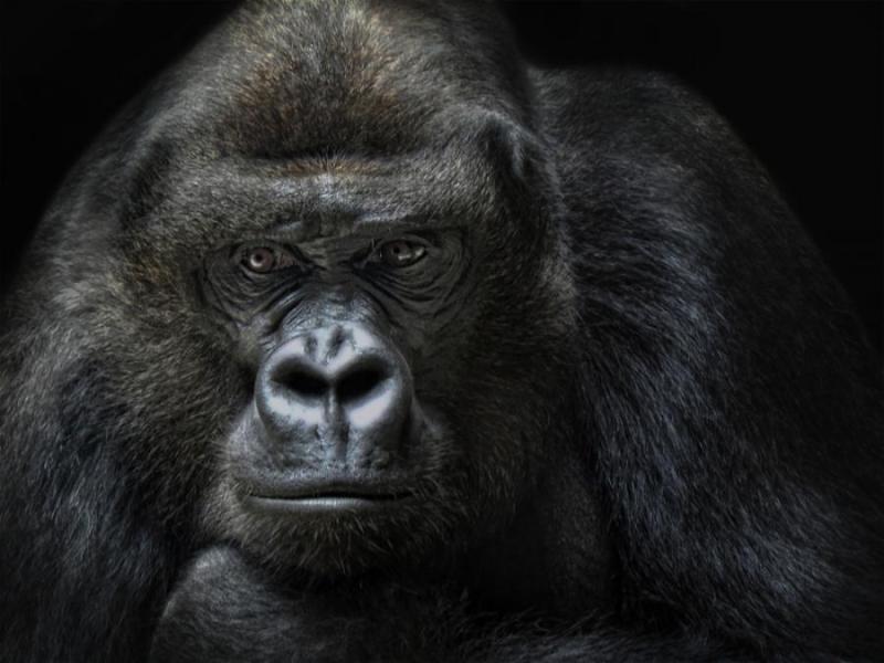 gorilia v masina