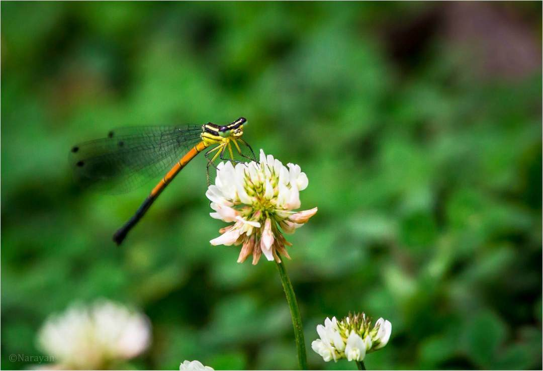 Dragonfly! Photo : Narayan Neupane