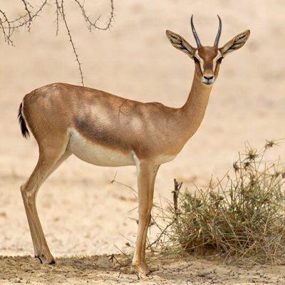 A Deer Runs the Dubai 10k