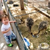 Wee Scotch with the baby emus