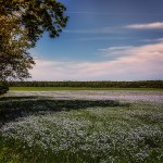 Un champs de lin