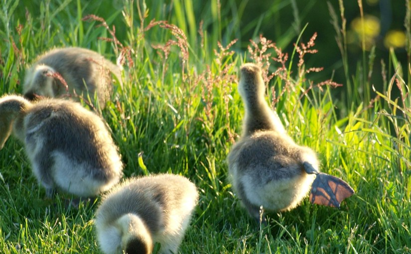 geese-459829_1280