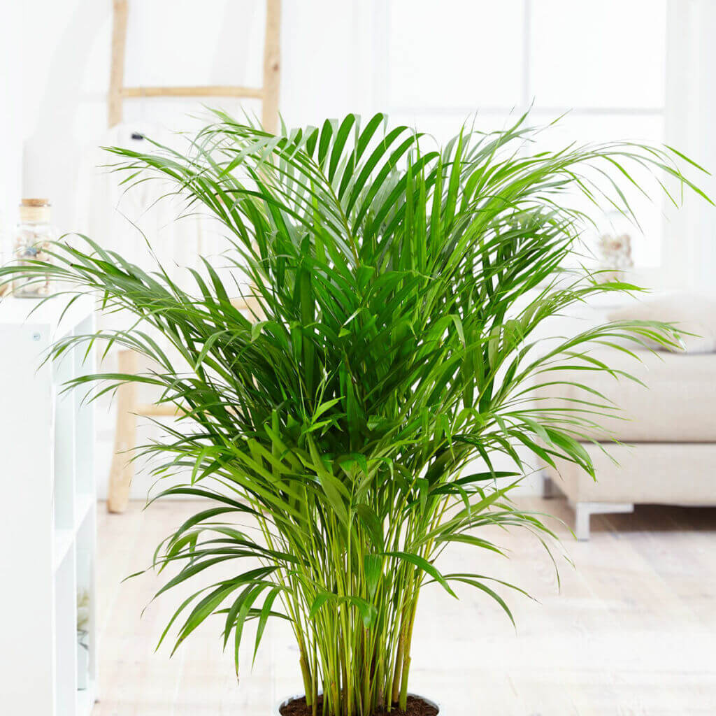 Chrysalidocarpus Space For Life Gir Guide For Plant Lovers Gir