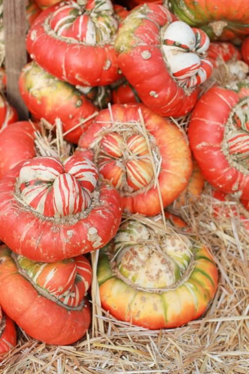 orange pumpkins  www.girlontherange.com